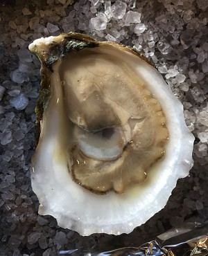 24 count Cotuit Oysters